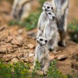 守卫注意的meerkats 免版税库存图片