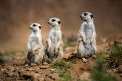 守卫注意的meerkats 库存图片