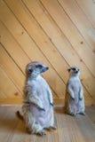 守卫注意的meerkats 免版税图库摄影