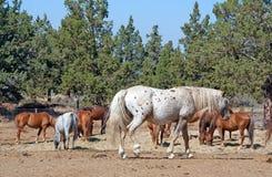 守卫牧群的阿帕卢萨马他的马 免版税库存图片