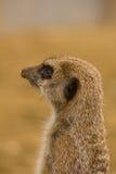 守卫的Meerkat 免版税库存照片