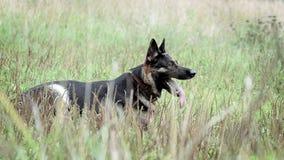 守卫训练的德国牧羊犬 股票录像