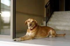 守卫,但是友好的狗 免版税库存图片