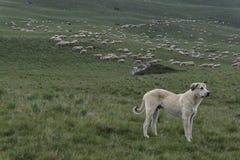 守卫绵羊的大群狗 库存图片