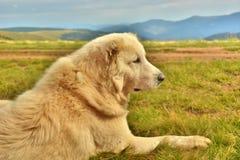 守卫绵羊的护卫犬 免版税库存照片