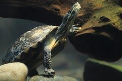 安南叶子乌龟 库存照片