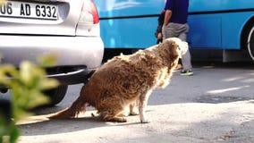 安卡拉/土耳其9月08日2018年:抓和发痒它的后面的被传染的或过敏狗通过汽车 股票录像