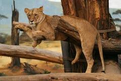 安哥拉狮子雌狮 免版税库存照片