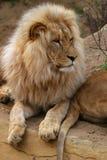 安哥拉狮子 免版税库存照片