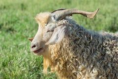 安哥拉猫山羊画象  库存图片