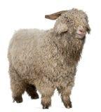 安哥拉猫山羊 库存图片