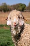 安哥拉猫山羊 免版税库存图片