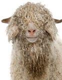 安哥拉猫接近的山羊 库存照片