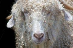 安哥拉猫毛海织物山羊 库存照片