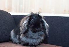 安哥拉猫黑兔子 免版税库存图片