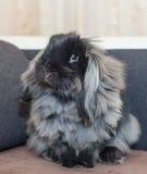 安哥拉猫黑兔子 免版税图库摄影