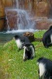 安哥拉疣猴 库存图片