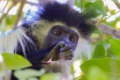 安哥拉疣猴头画象 库存图片
