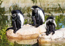 安哥拉Colobos猴子 免版税库存照片