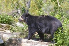 安地斯山熊走 库存照片