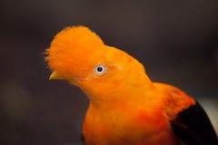 安地斯山的公鸡这石Rupicola peruvianus 库存照片