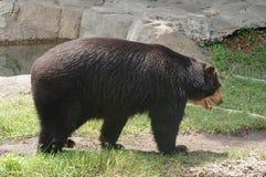安地斯山的戴了眼镜熊 免版税库存照片