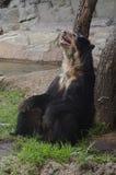 安地斯山的戴了眼镜熊 库存照片