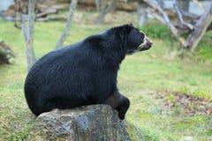 安地斯山的熊 库存照片