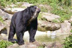安地斯山的熊 免版税图库摄影
