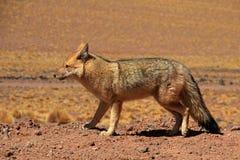 安地斯山的狐狸, lycalopex culpaeus,亦称zorro culpeo atacama智利沙漠 免版税库存照片