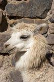 安地斯山的白色骆马的画象 库存照片