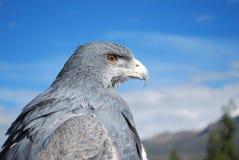 安地斯山的老鹰 库存照片