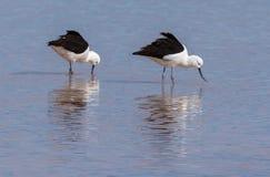 安地斯山的长嘴上弯的长脚鸟(Recurvirostra andina)在拉古纳Cejar,阿塔卡马沙漠,智利 免版税库存照片