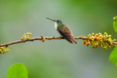 安地斯山的鲜绿色蜂鸟,男性 库存照片