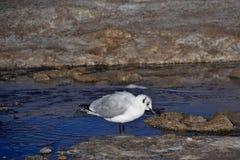 安地斯山的鸥& x28; Chroicocephalus serranus& x29;哺养在wa小河  免版税库存照片