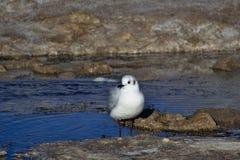 安地斯山的鸥& x28; Chroicocephalus serranus& x29;哺养在wa小河  库存照片