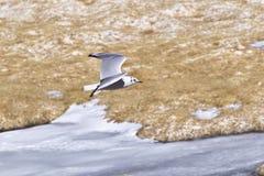 安地斯山的鸥& x28; Chroicocephalus serranus& x29; 库存图片