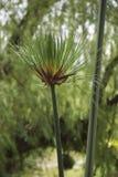 安地斯植物 免版税库存图片