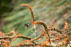 安娜哺养在芦荟维拉的` s蜂鸟开花 库存图片