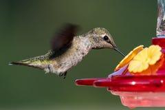 安娜在飞行中` s蜂鸟 免版税库存图片
