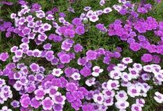 戴安娜淡紫色石竹花 图库摄影
