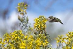 安娜的喝从黄色花的蜂鸟飞行 库存图片