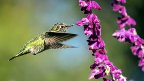 安娜的蜂鸟在飞行中与紫色花 免版税库存图片