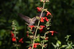 安娜的蜂鸟在飞行中,哺养在红色花 免版税图库摄影