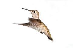 安娜的蜂鸟在飞行中,女性 免版税库存照片