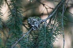 安娜的蜂鸟巢 免版税库存图片