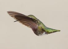 安娜的蜂鸟- Calypte安娜 免版税库存照片
