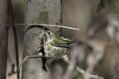 安娜的蜂鸟(Calypte安娜) 免版税图库摄影