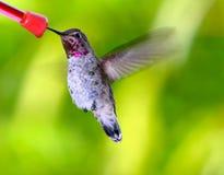 安娜的Hummingbird~ Calypte安娜 图库摄影