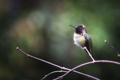 安娜` s蜂鸟在分支栖息 库存图片